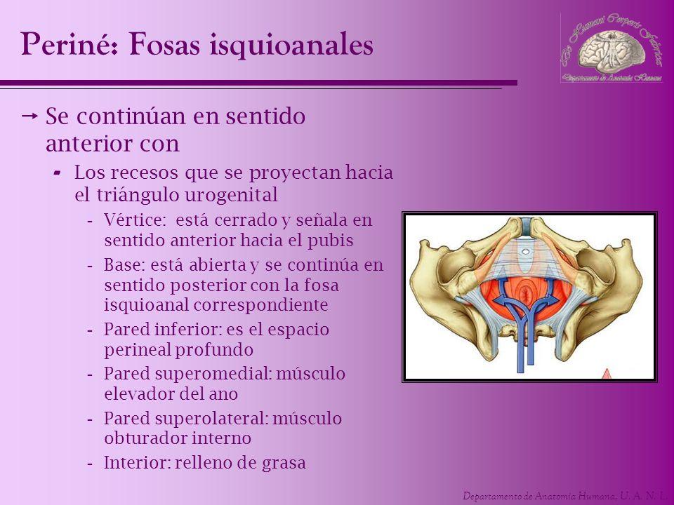 Departamento de Anatomía Humana, U. A. N. L. Se continúan en sentido anterior con - Los recesos que se proyectan hacia el triángulo urogenital -Vértic