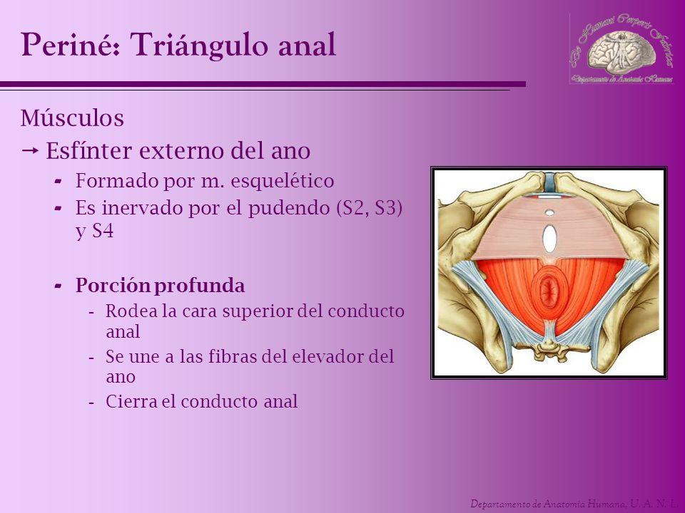 Departamento de Anatomía Humana, U. A. N. L. Periné: Triángulo anal Músculos Esfínter externo del ano - Formado por m. esquelético - Es inervado por e