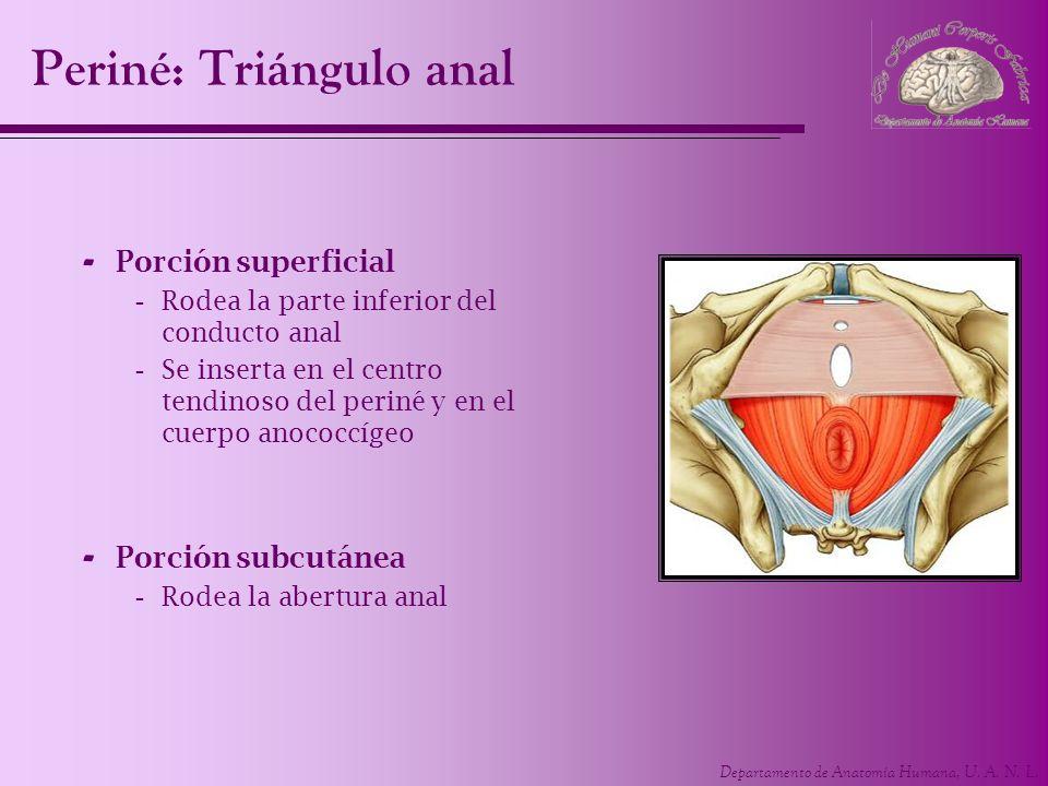 Departamento de Anatomía Humana, U. A. N. L. Periné: Triángulo anal - Porción superficial -Rodea la parte inferior del conducto anal -Se inserta en el