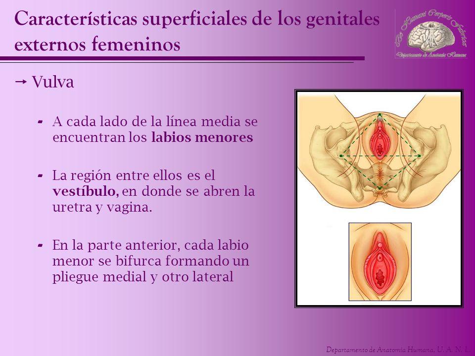 Departamento de Anatomía Humana, U. A. N. L. Características superficiales de los genitales externos femeninos Vulva - A cada lado de la línea media s