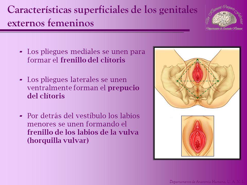 Departamento de Anatomía Humana, U. A. N. L. Características superficiales de los genitales externos femeninos - Los pliegues mediales se unen para fo