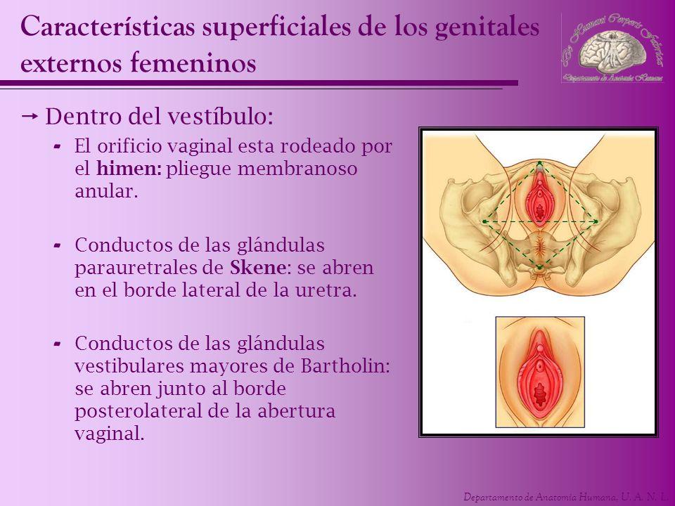 Departamento de Anatomía Humana, U. A. N. L. Características superficiales de los genitales externos femeninos Dentro del vestíbulo: - El orificio vag