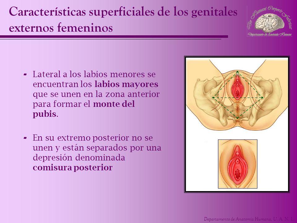 Departamento de Anatomía Humana, U. A. N. L. Características superficiales de los genitales externos femeninos - Lateral a los labios menores se encue