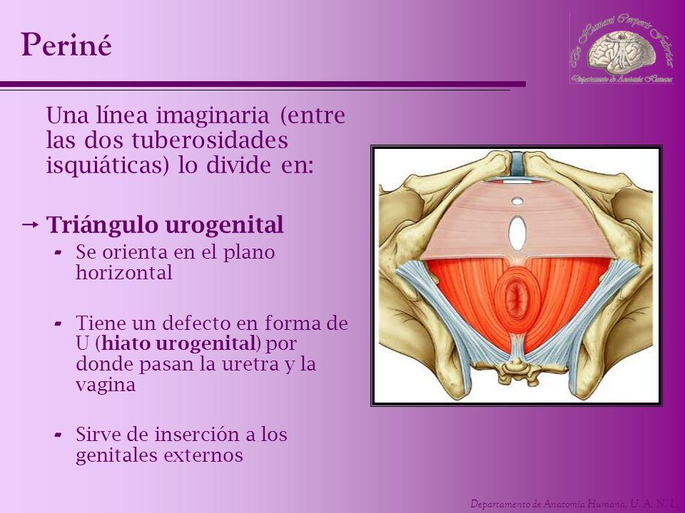 Departamento de Anatomía Humana, U. A. N. L. Periné Una línea imaginaria (entre las dos tuberosidades isquiáticas) lo divide en: Triángulo urogenital