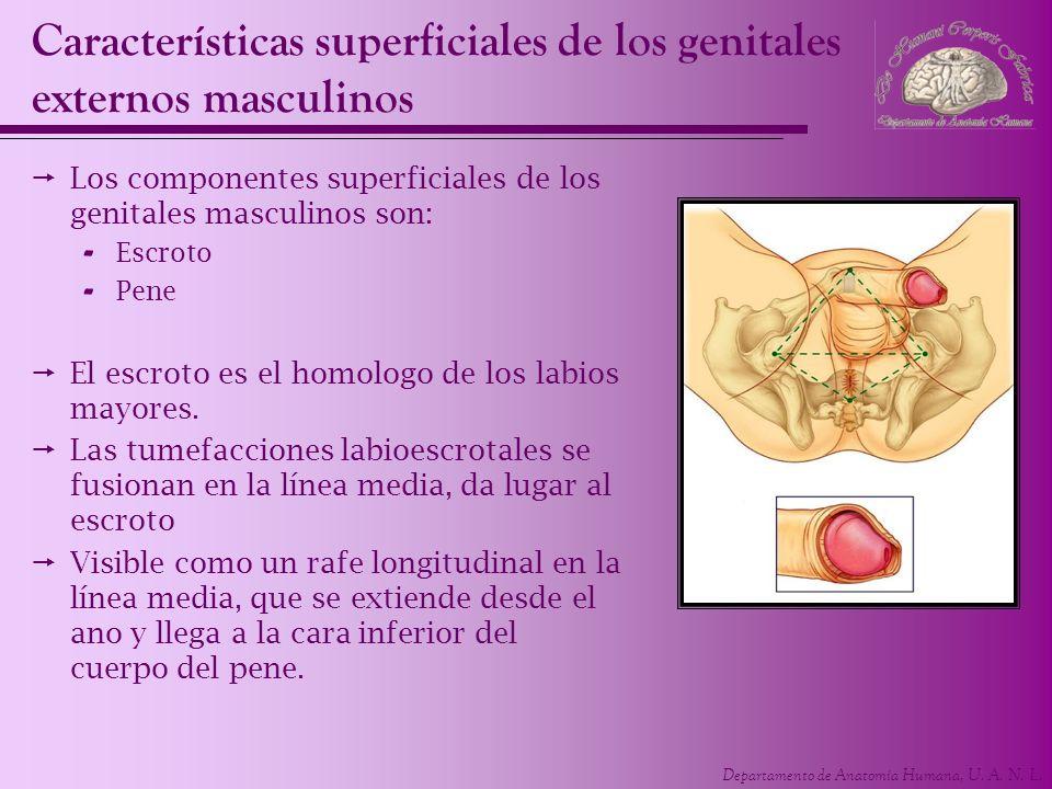 Departamento de Anatomía Humana, U. A. N. L. Características superficiales de los genitales externos masculinos Los componentes superficiales de los g