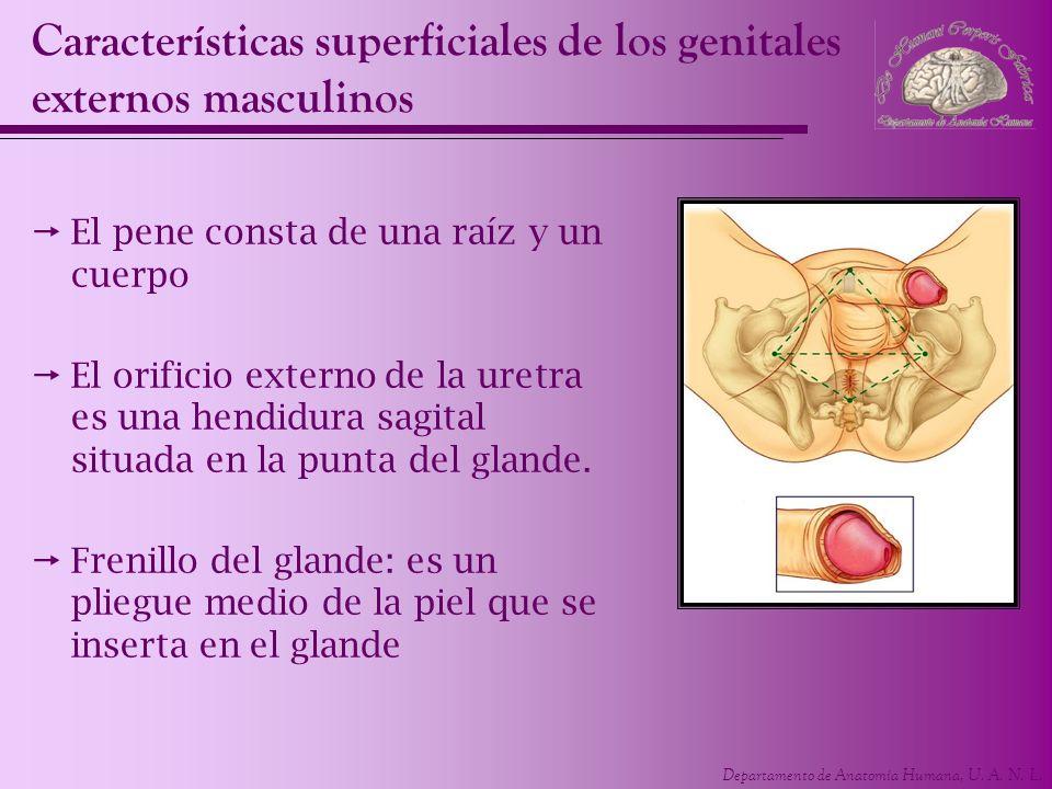Departamento de Anatomía Humana, U. A. N. L. Características superficiales de los genitales externos masculinos El pene consta de una raíz y un cuerpo