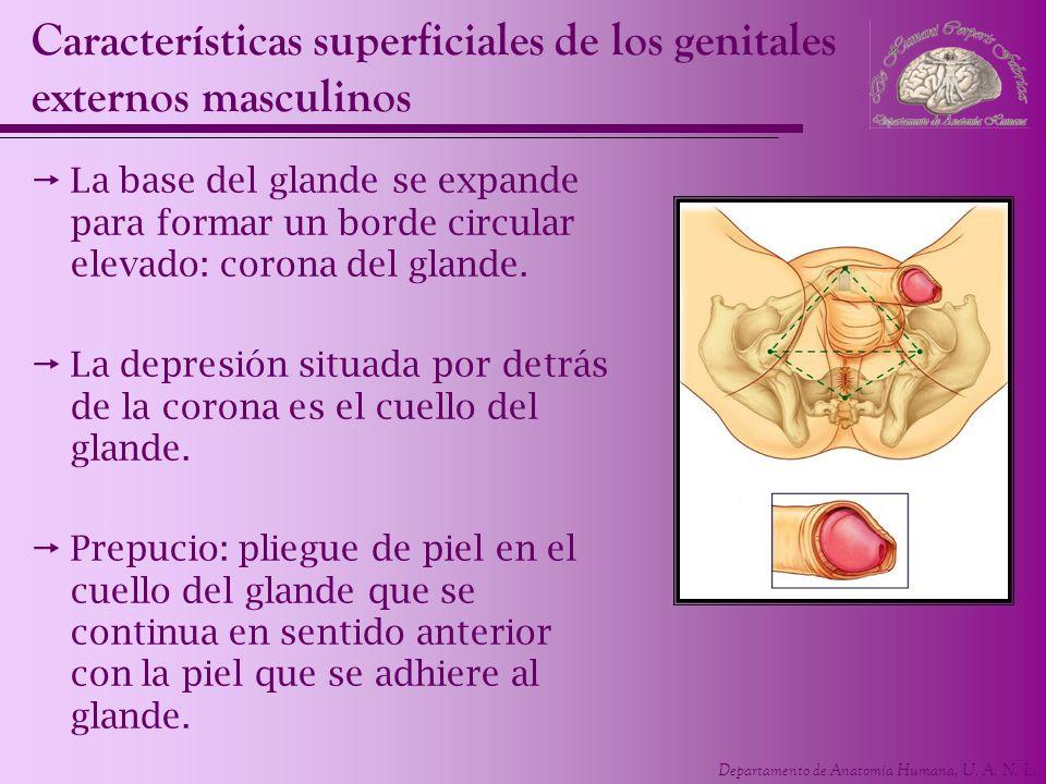 Departamento de Anatomía Humana, U. A. N. L. Características superficiales de los genitales externos masculinos La base del glande se expande para for