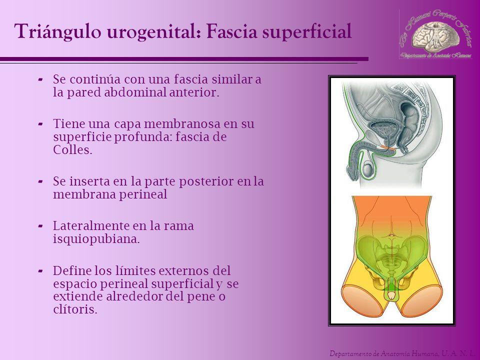 Departamento de Anatomía Humana, U. A. N. L. Triángulo urogenital: Fascia superficial - Se continúa con una fascia similar a la pared abdominal anteri