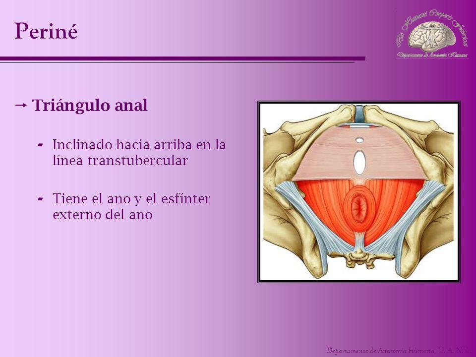 Departamento de Anatomía Humana, U. A. N. L. Periné Triángulo anal - Inclinado hacia arriba en la línea transtubercular - Tiene el ano y el esfínter e
