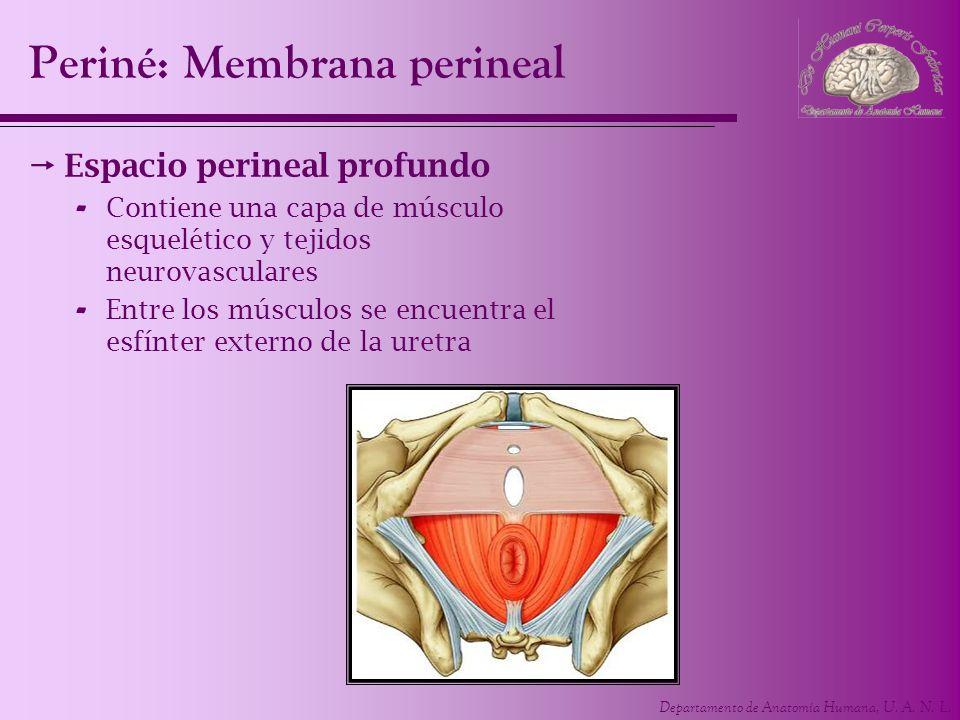 Departamento de Anatomía Humana, U. A. N. L. Periné: Membrana perineal Espacio perineal profundo - Contiene una capa de músculo esquelético y tejidos