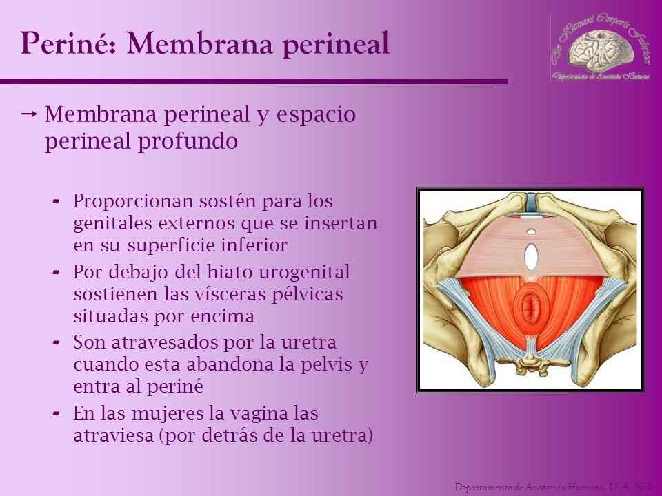 Departamento de Anatomía Humana, U. A. N. L. Membrana perineal y espacio perineal profundo - Proporcionan sostén para los genitales externos que se in