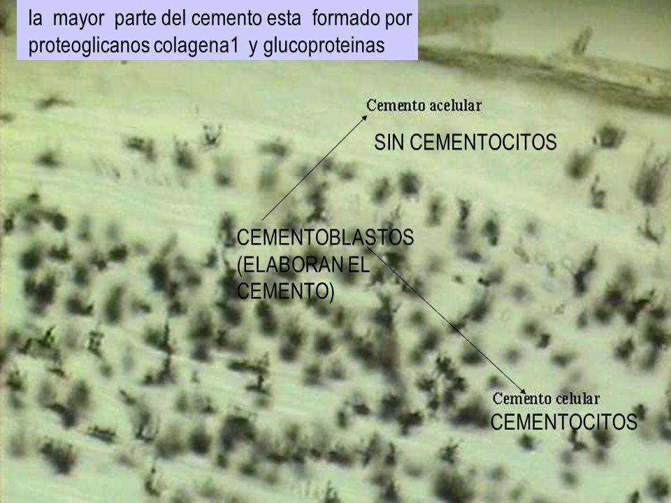 CEMENTOCITOS SIN CEMENTOCITOS CEMENTOBLASTOS (ELABORAN EL CEMENTO) la mayor parte del cemento esta formado por proteoglicanos colagena1 y glucoprotein