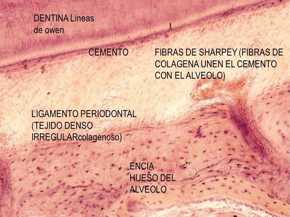 LIGAMENTO PERIODONTAL (TEJIDO DENSO IRREGULARcolagenoso) ENCIA HUESO DEL ALVEOLO CEMENTO DENTINA Lineas de owen FIBRAS DE SHARPEY (FIBRAS DE COLAGENA
