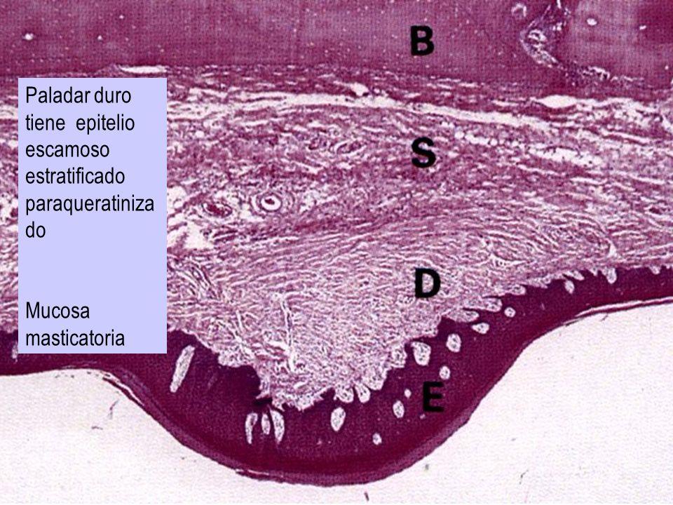 Paladar duro tiene epitelio escamoso estratificado paraqueratiniza do Mucosa masticatoria