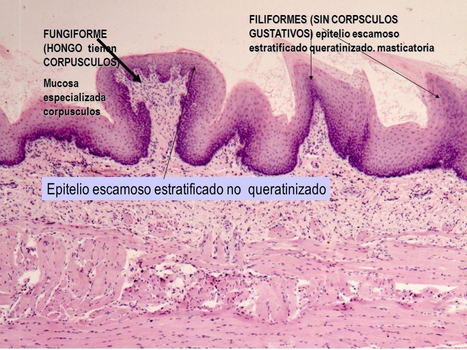 FUNGIFORME (HONGO tienen CORPUSCULOS) Mucosa especializada corpusculos FILIFORMES (SIN CORPSCULOS GUSTATIVOS) epitelio escamoso estratificado queratin