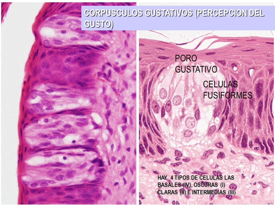 CORPUSCULOS GUSTATIVOS (PERCEPCION DEL GUSTO) PORO GUSTATIVO CELULAS FUSIFORMES HAY 4 TIPOS DE CELULAS LAS BASALES (IV), OSCURAS (I) CLARAS (II) E INT