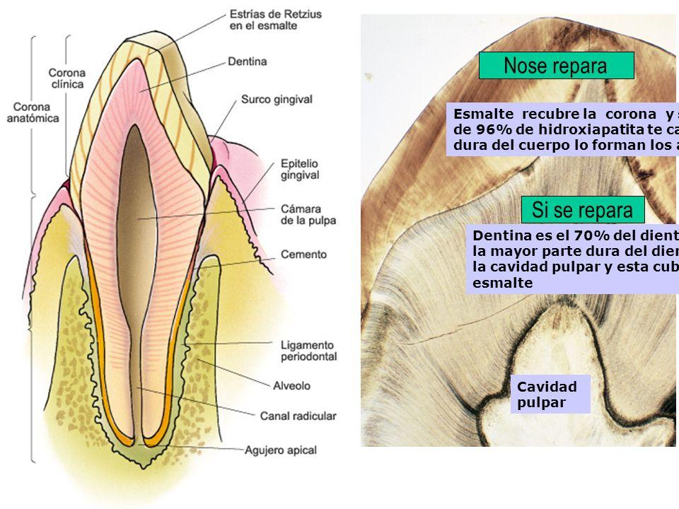 Esmalte recubre la corona y se compone de 96% de hidroxiapatita te calcio, es la sust mas dura del cuerpo lo forman los ameloblastos Dentina es el 70%