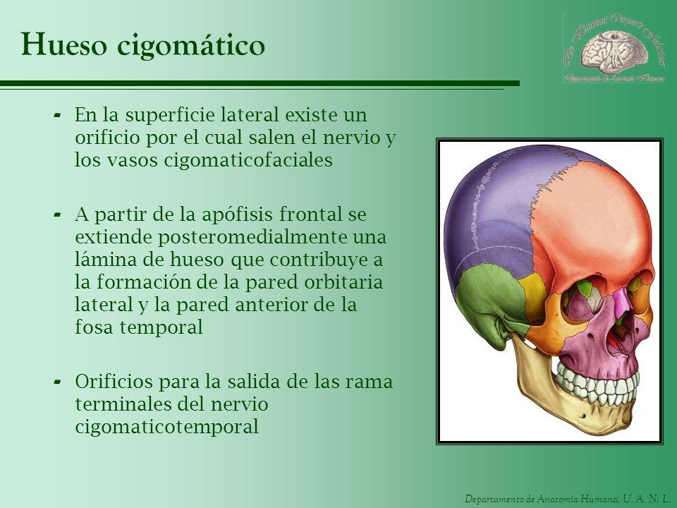 Departamento de Anatomía Humana, U. A. N. L. Hueso cigomático - En la superficie lateral existe un orificio por el cual salen el nervio y los vasos ci