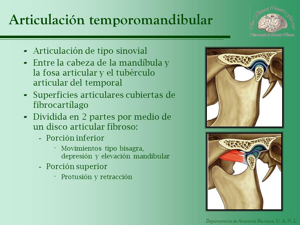 Departamento de Anatomía Humana, U. A. N. L. Articulación temporomandibular - Articulación de tipo sinovial - Entre la cabeza de la mandíbula y la fos