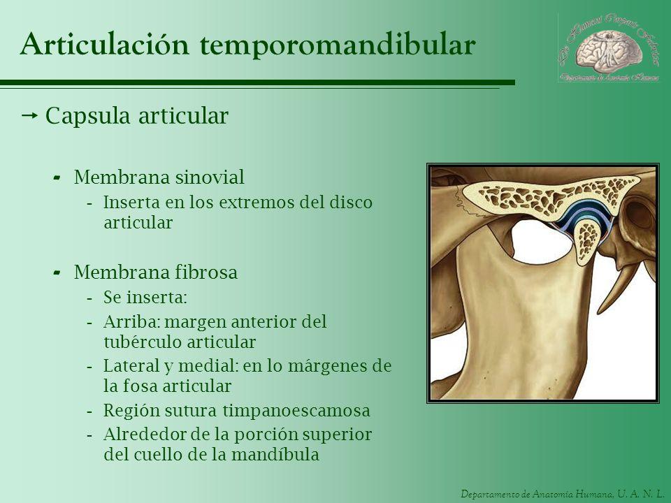 Departamento de Anatomía Humana, U. A. N. L. Articulación temporomandibular Capsula articular - Membrana sinovial -Inserta en los extremos del disco a