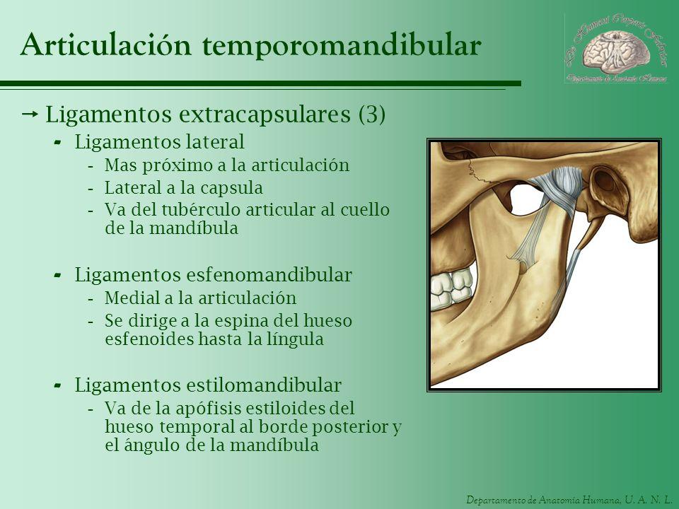 Departamento de Anatomía Humana, U. A. N. L. Articulación temporomandibular Ligamentos extracapsulares (3) - Ligamentos lateral -Mas próximo a la arti