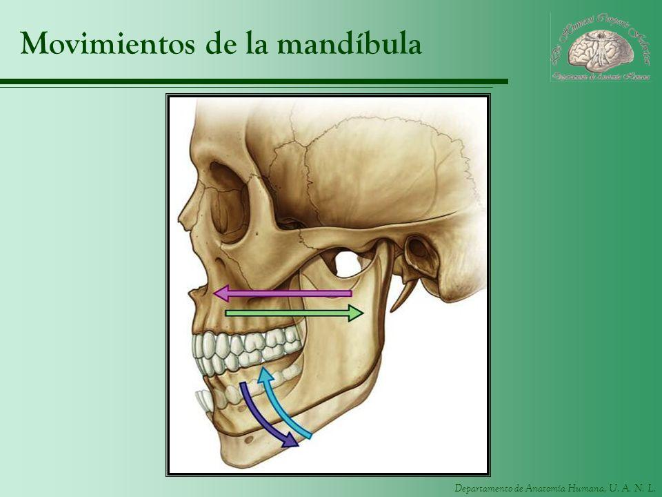 Departamento de Anatomía Humana, U. A. N. L. Movimientos de la mandíbula