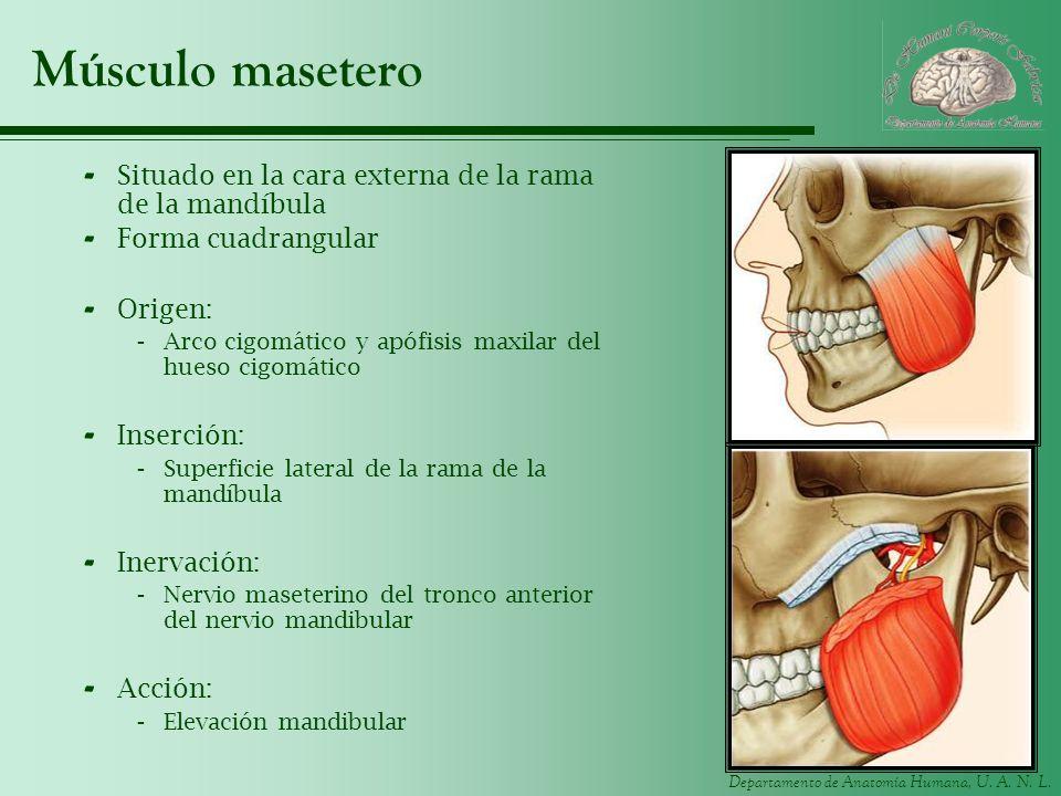 Departamento de Anatomía Humana, U. A. N. L. Músculo masetero - Situado en la cara externa de la rama de la mandíbula - Forma cuadrangular - Origen: -