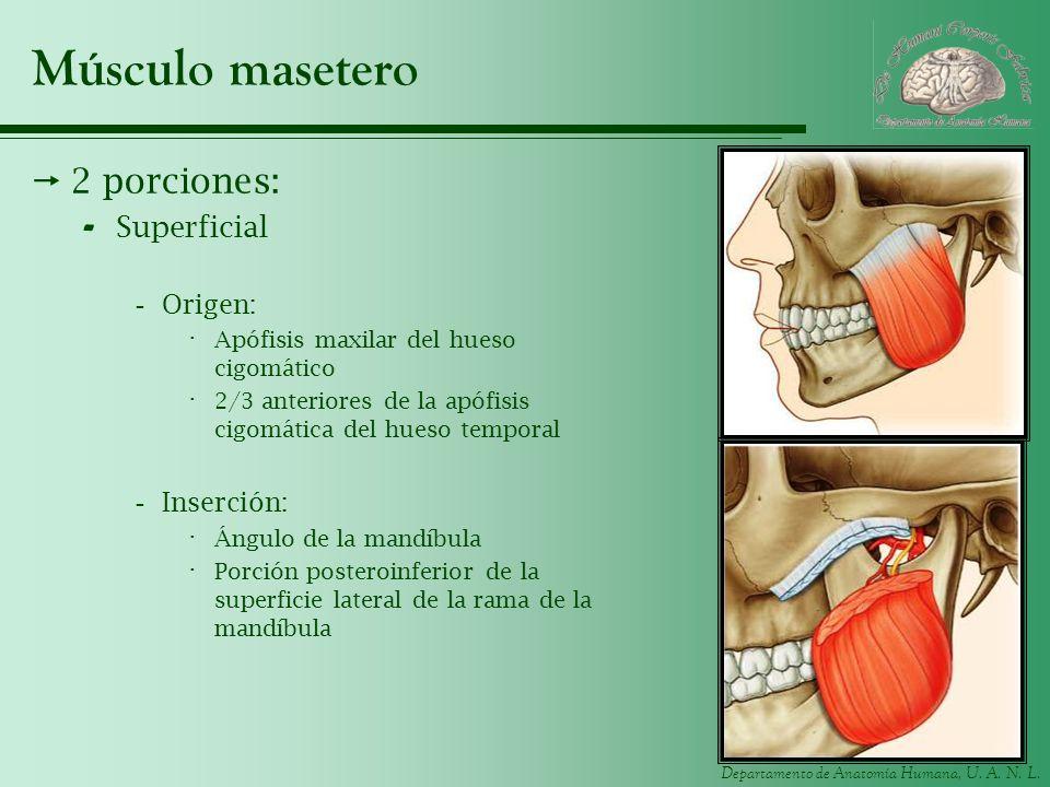 Departamento de Anatomía Humana, U. A. N. L. Músculo masetero 2 porciones: - Superficial -Origen: · Apófisis maxilar del hueso cigomático · 2/3 anteri