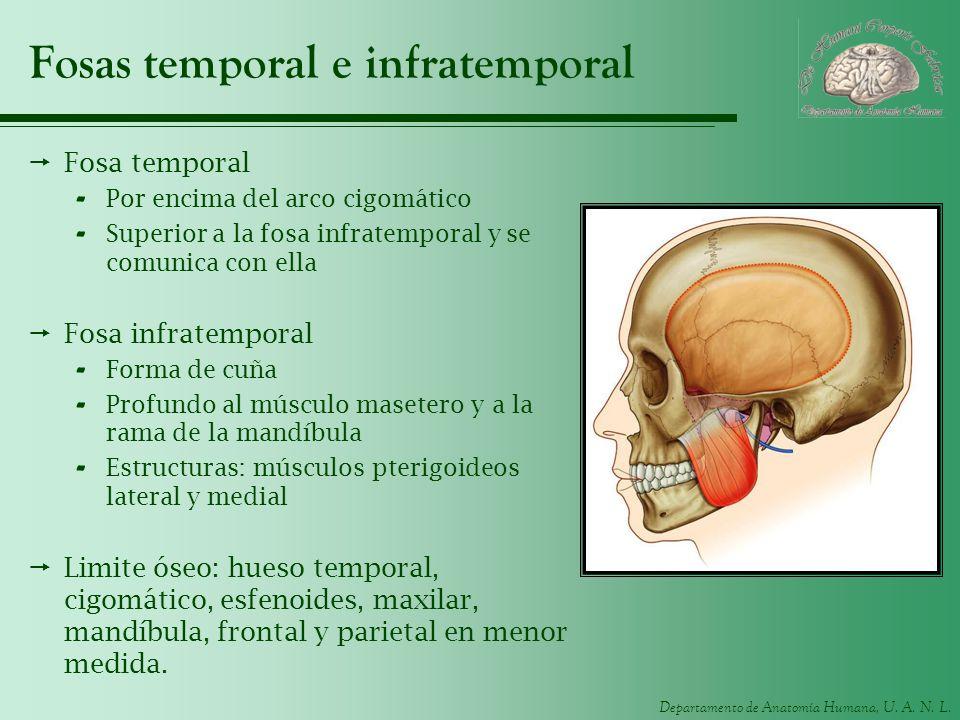 Departamento de Anatomía Humana, U. A. N. L. Fosas temporal e infratemporal Fosa temporal - Por encima del arco cigomático - Superior a la fosa infrat