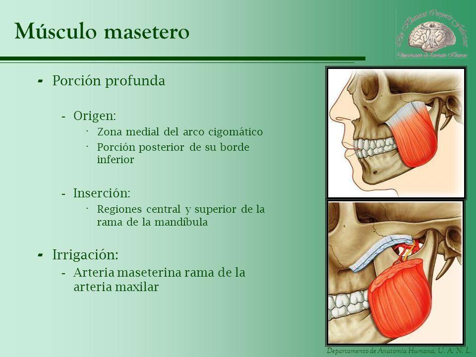 Departamento de Anatomía Humana, U. A. N. L. Músculo masetero - Porción profunda -Origen: · Zona medial del arco cigomático · Porción posterior de su