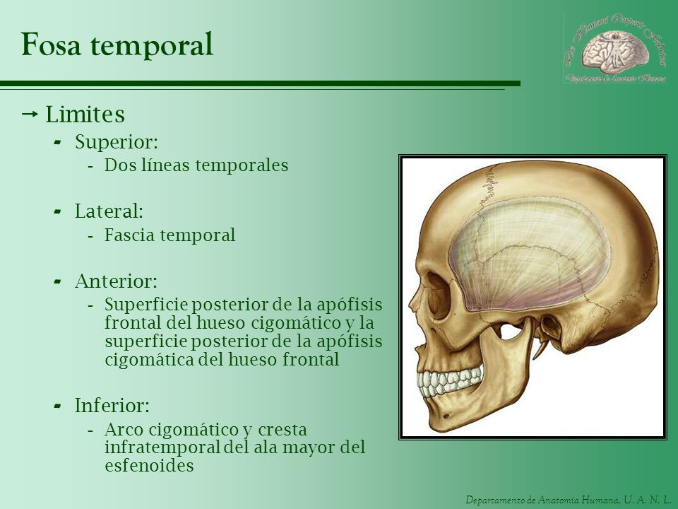Departamento de Anatomía Humana, U. A. N. L. Fosa temporal Limites - Superior: -Dos líneas temporales - Lateral: -Fascia temporal - Anterior: -Superfi