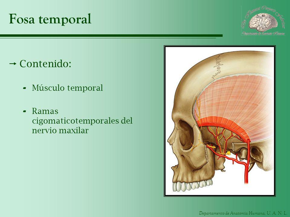 Departamento de Anatomía Humana, U. A. N. L. Fosa temporal Contenido: - Músculo temporal - Ramas cigomaticotemporales del nervio maxilar