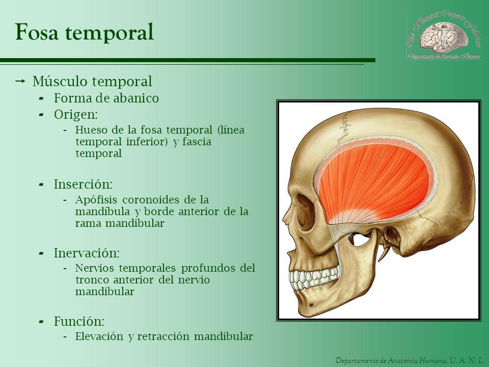 Departamento de Anatomía Humana, U. A. N. L. Fosa temporal Músculo temporal - Forma de abanico - Origen: -Hueso de la fosa temporal (línea temporal in