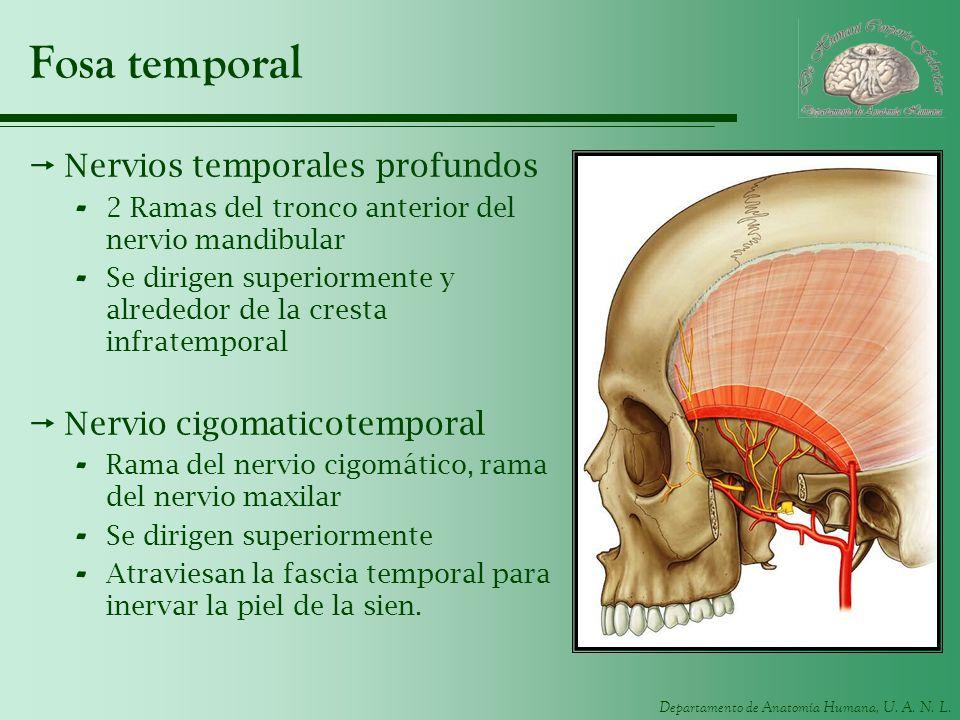 Departamento de Anatomía Humana, U. A. N. L. Fosa temporal Nervios temporales profundos - 2 Ramas del tronco anterior del nervio mandibular - Se dirig