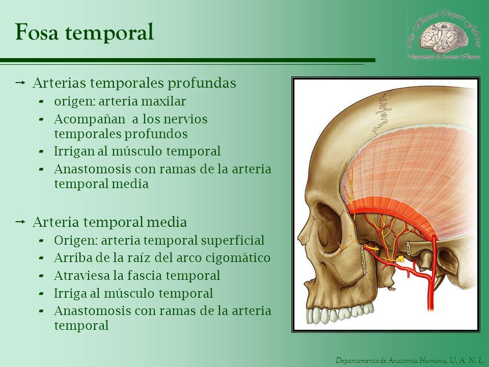 Departamento de Anatomía Humana, U. A. N. L. Fosa temporal Arterias temporales profundas - origen: arteria maxilar - Acompañan a los nervios temporale