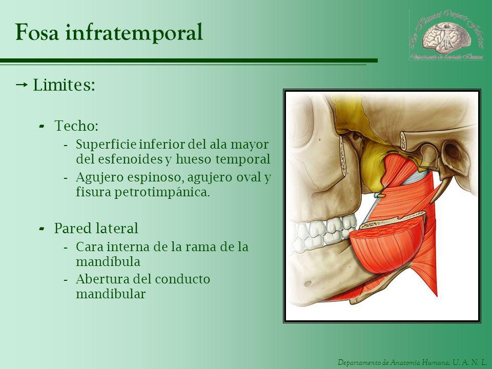 Departamento de Anatomía Humana, U. A. N. L. Fosa infratemporal Limites: - Techo: -Superficie inferior del ala mayor del esfenoides y hueso temporal -