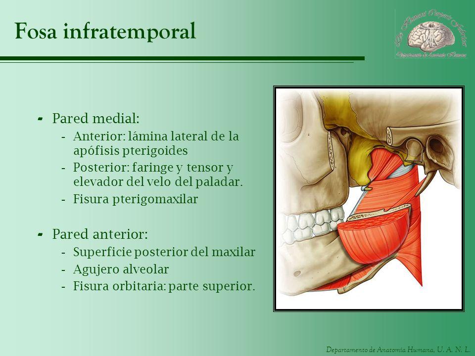 Departamento de Anatomía Humana, U. A. N. L. Fosa infratemporal - Pared medial: -Anterior: lámina lateral de la apófisis pterigoides -Posterior: farin