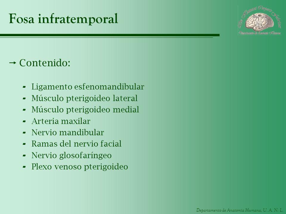 Departamento de Anatomía Humana, U. A. N. L. Fosa infratemporal Contenido: - Ligamento esfenomandibular - Músculo pterigoideo lateral - Músculo pterig