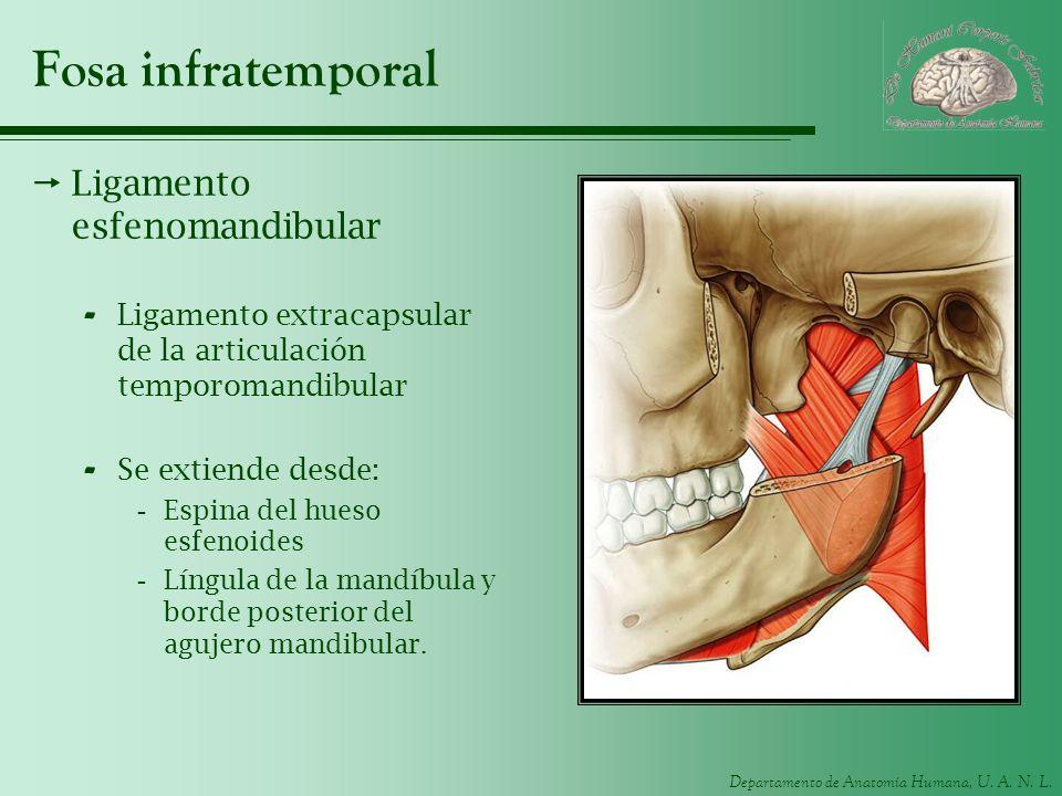 Departamento de Anatomía Humana, U. A. N. L. Fosa infratemporal Ligamento esfenomandibular - Ligamento extracapsular de la articulación temporomandibu