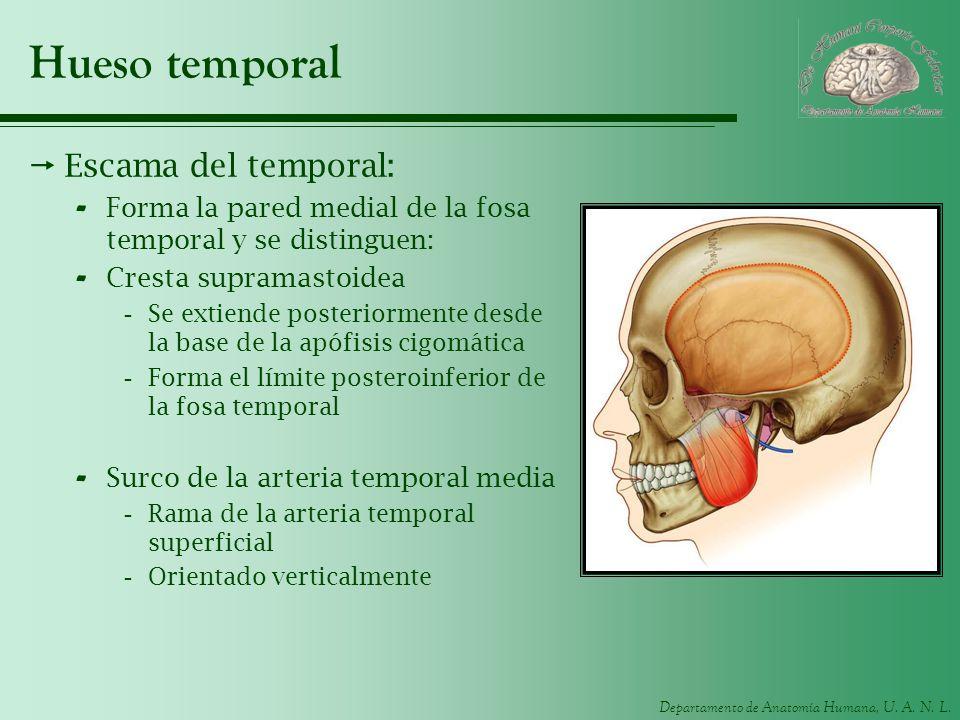 Departamento de Anatomía Humana, U. A. N. L. Hueso temporal Escama del temporal: - Forma la pared medial de la fosa temporal y se distinguen: - Cresta