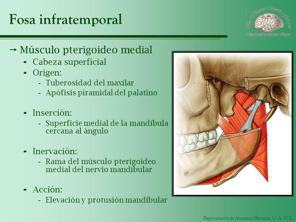 Departamento de Anatomía Humana, U. A. N. L. Fosa infratemporal Músculo pterigoideo medial - Cabeza superficial - Origen: -Tuberosidad del maxilar -Ap