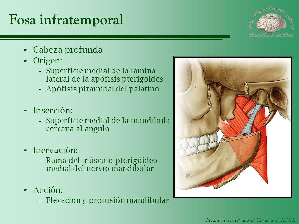 Departamento de Anatomía Humana, U. A. N. L. Fosa infratemporal - Cabeza profunda - Origen: -Superficie medial de la lámina lateral de la apófisis pte