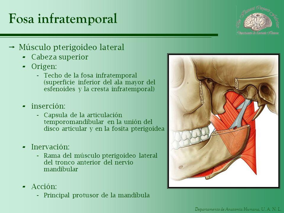 Departamento de Anatomía Humana, U. A. N. L. Fosa infratemporal Músculo pterigoideo lateral - Cabeza superior - Origen: -Techo de la fosa infratempora