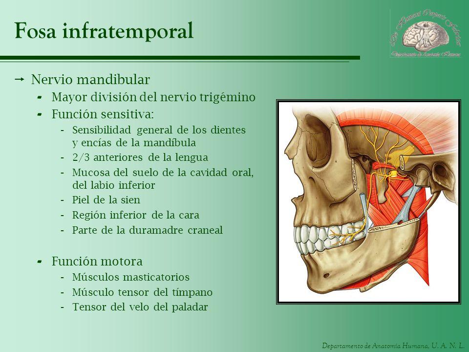 Departamento de Anatomía Humana, U. A. N. L. Fosa infratemporal Nervio mandibular - Mayor división del nervio trigémino - Función sensitiva: -Sensibil