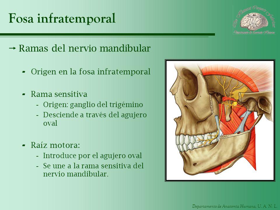 Departamento de Anatomía Humana, U. A. N. L. Fosa infratemporal Ramas del nervio mandibular - Origen en la fosa infratemporal - Rama sensitiva -Origen