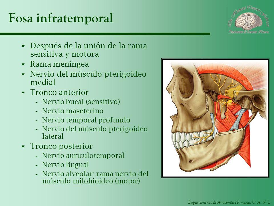 Departamento de Anatomía Humana, U. A. N. L. Fosa infratemporal - Después de la unión de la rama sensitiva y motora - Rama meníngea - Nervio del múscu