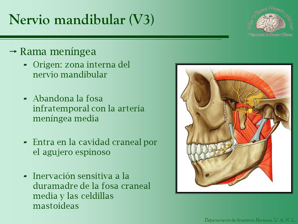 Departamento de Anatomía Humana, U. A. N. L. Nervio mandibular (V3) Rama meníngea - Origen: zona interna del nervio mandibular - Abandona la fosa infr