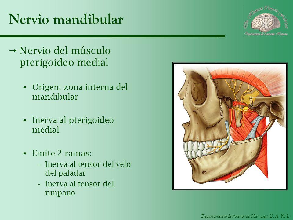 Departamento de Anatomía Humana, U. A. N. L. Nervio mandibular Nervio del músculo pterigoideo medial - Origen: zona interna del mandibular - Inerva al
