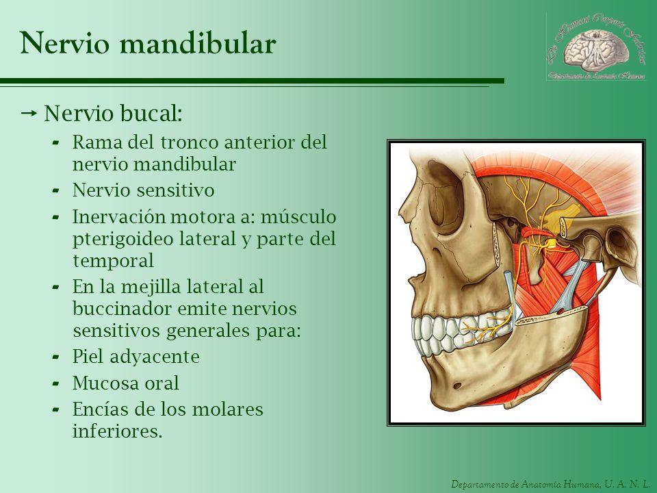 Departamento de Anatomía Humana, U. A. N. L. Nervio mandibular Nervio bucal: - Rama del tronco anterior del nervio mandibular - Nervio sensitivo - Ine