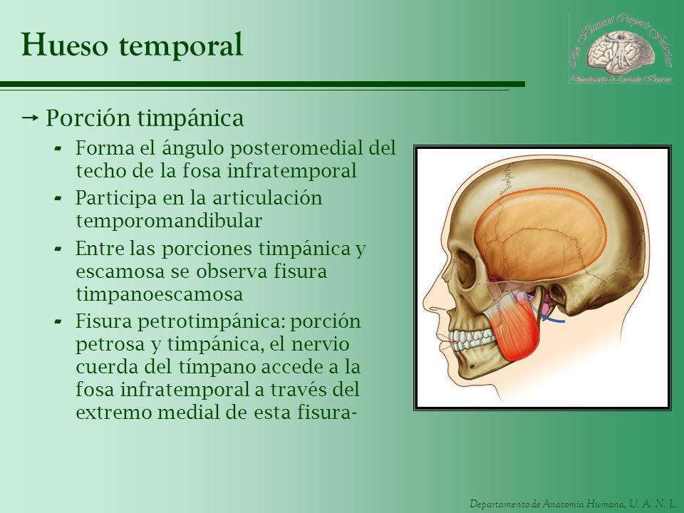 Departamento de Anatomía Humana, U. A. N. L. Hueso temporal Porción timpánica - Forma el ángulo posteromedial del techo de la fosa infratemporal - Par